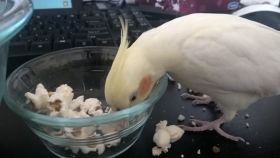 Curry the cockatiel eating popcorn
